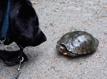 Dexter meets a turtle.