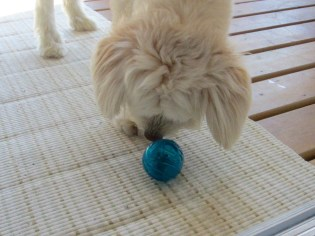 Cooper is learning that kibble just might come out of the puzzle ball.