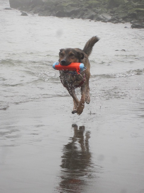 Fuzzy Buddy Abby loves fetch at the beach.