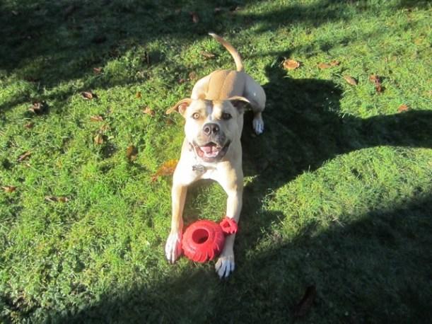 FuzzyBuddyBC HugABull Foster Dog Moxie Pit Bull