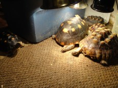 Lola wanting to join the tortoise pile
