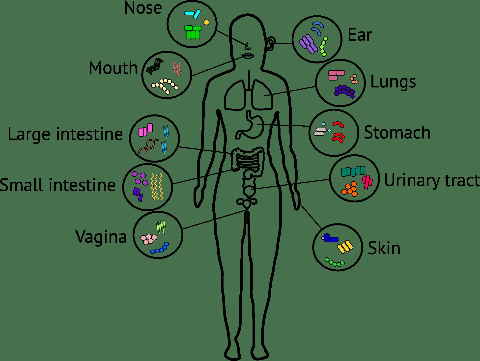 The Human Microbiota