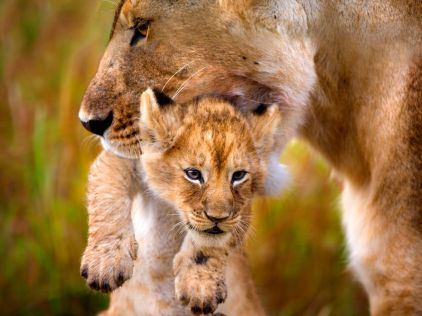 Lioness - National Geographic