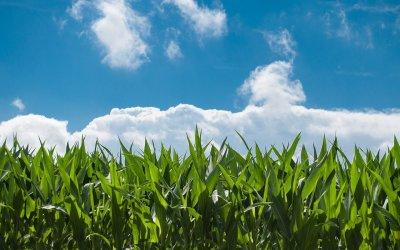 Agricoltura: mais, soia e vite dominano superfici coltivate in Fvg
