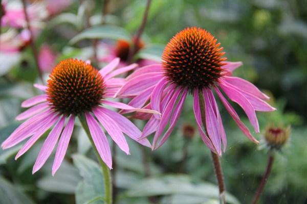 HerbanU Highlight Echinacea