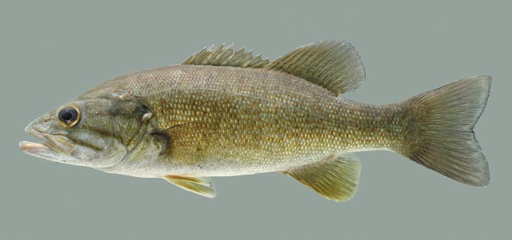 Ohio River Catfish Record