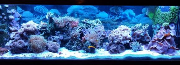 Mushroom coral aquarium