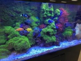 Green star polyps take over aquarium
