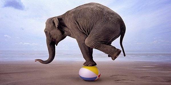 советник Elephant