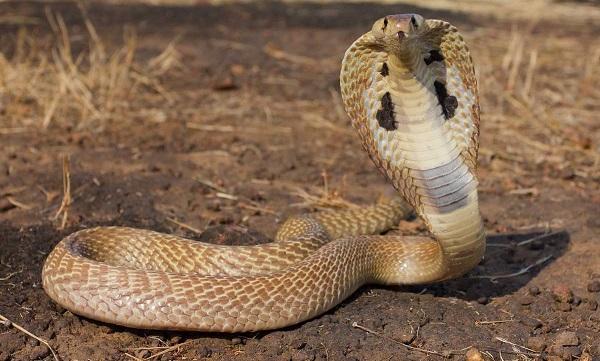 советника Cobra
