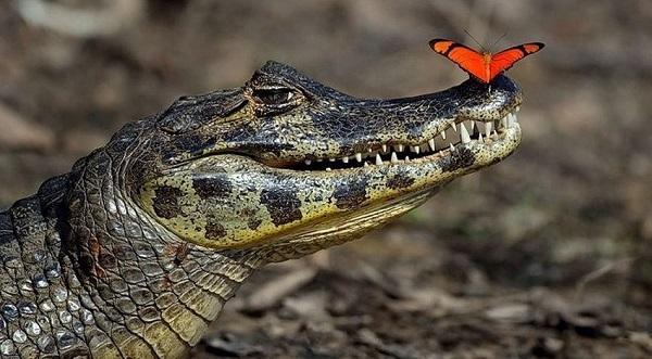 индикатор alligator