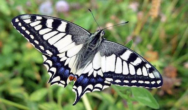 Бабочка Гартли