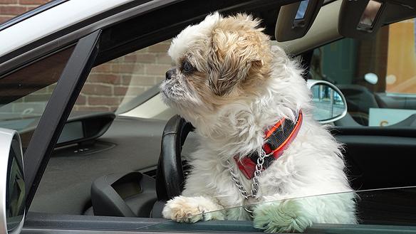 Ser ofta söta hundar och katter och djur i både stadsmiljö och i naturen. Denna sotnos är fotograferad i Uddevalla medans husse är inne och gör ett ärende - så håller hunden span. Foto: Peter Ahlborg