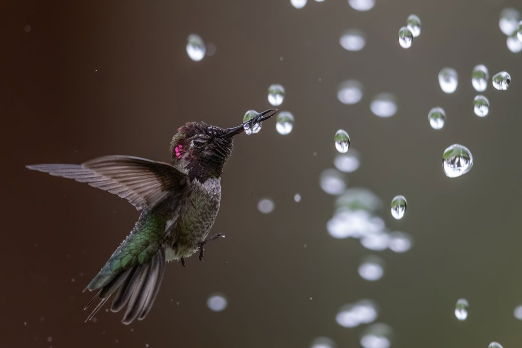 Anna's Hummingbird by Bibek Ghosh.
