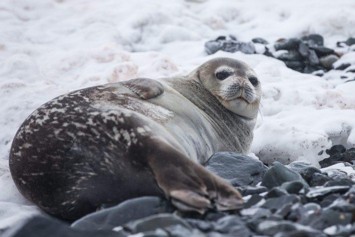 Seal in Antarctica.