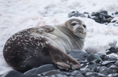 Seal in Antarctica.