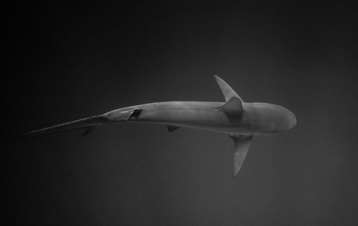 Overhead view of a swimming shark.