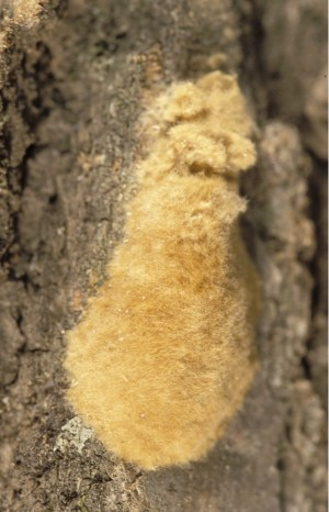 How to predict next year's damage – Gypsy Moth in Wisconsin