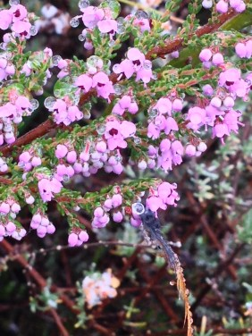 Erica with tiny pink bells