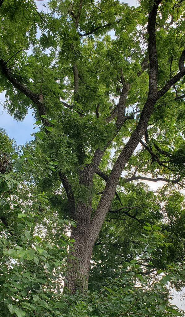 GEG-0921 large walnut tree