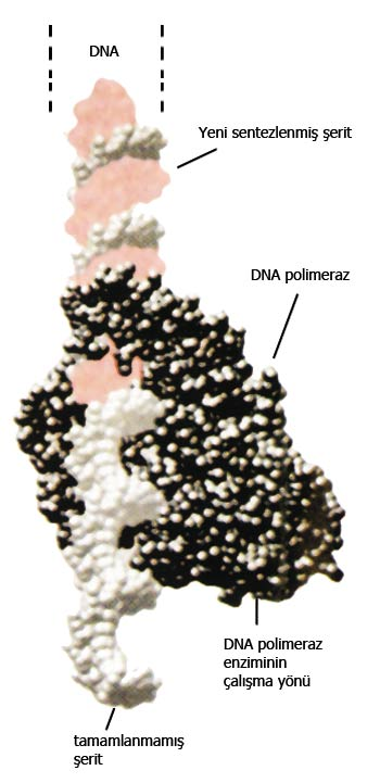 dna, enzyme