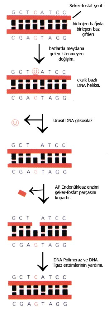 dna, replication, incorrect