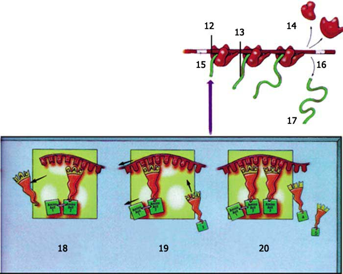 ribozom, protein sentezi, protein, hücre