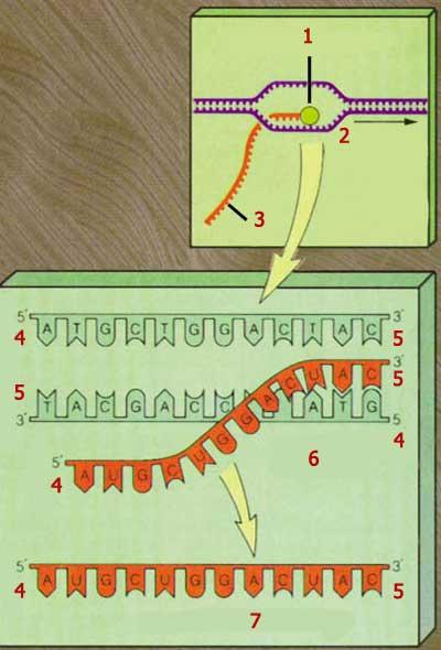 dna kopyalanması, transkripsiyon, rna polimeraz, rna