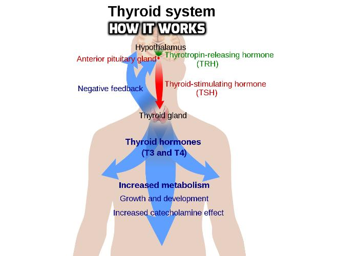 Which Hormone Controls Thyroid Hormones Production? Thyroid disease results from an underactive or overactive thyroid that produces too little or too much of the thyroid hormones. Knowing how your thyroid works helps you understand your thyroid problem.