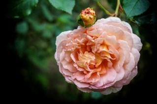 apricot rose...
