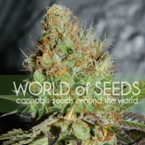afghan kush special feminized seeds