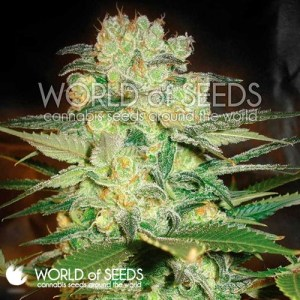 afghan kush x white widow feminized seeds
