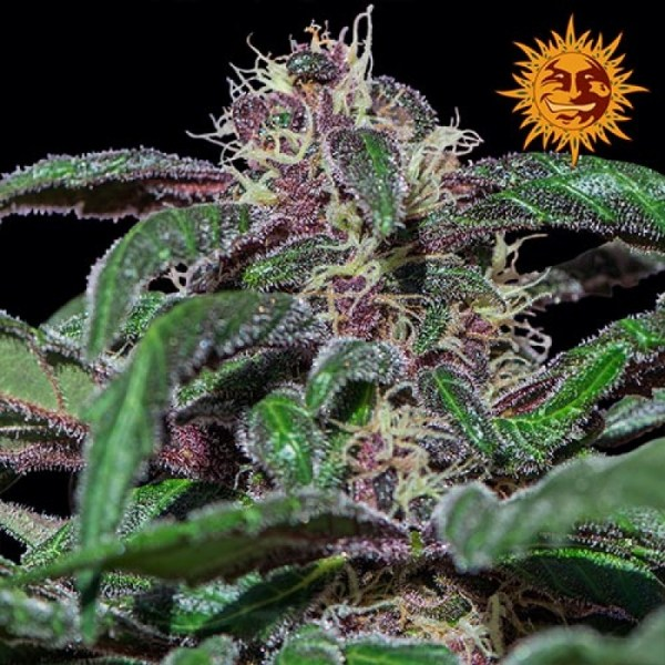 Ayahuasca Purple feminized seeds
