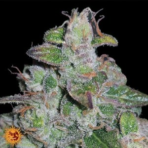 Blueberry og feminized seeds