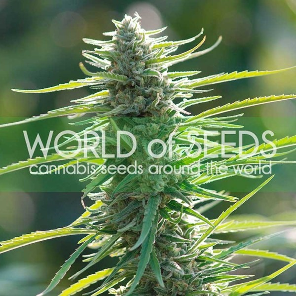 colombian gold feminized seeds