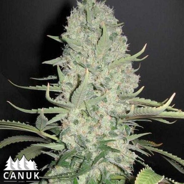 Critical Widow feminized seeds