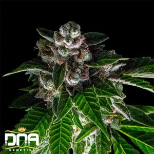 bakers delight feminized seeds