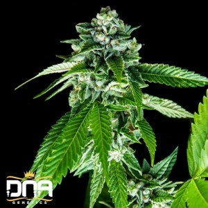 sorbet dreams feminized seeds