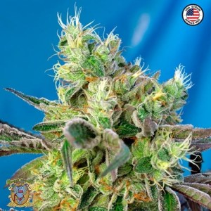 do-sweet-dos feminized seeds