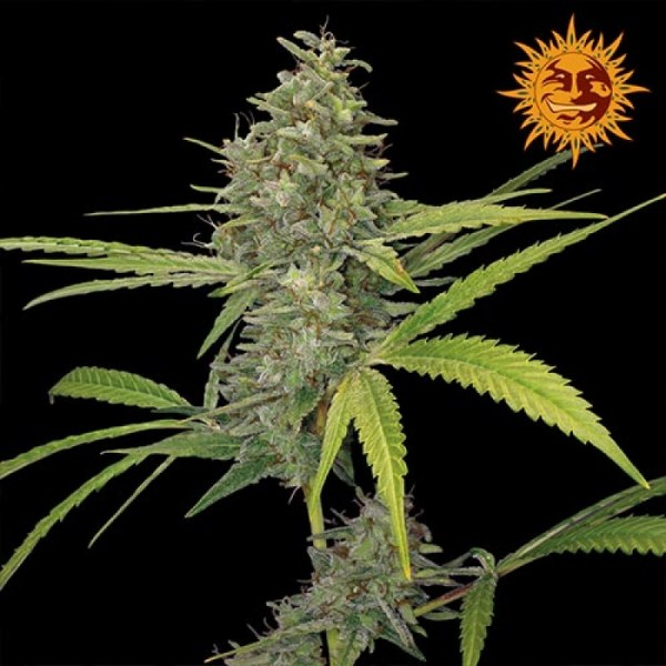G13 haze feminized seeds