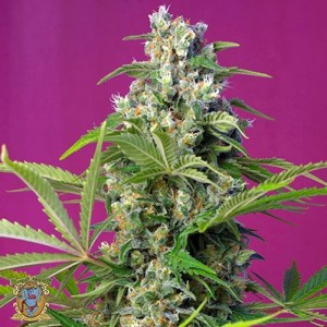 gorilla girl feminized seeds