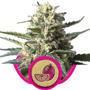 lemon haze feminized seeds