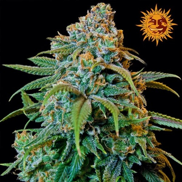 liberty haze feminized seeds