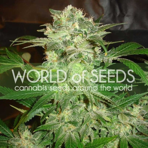 mazar kush feminized seeds