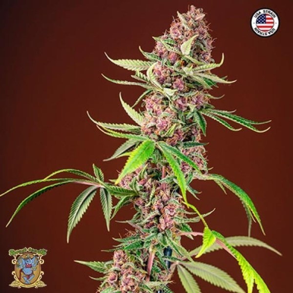 red mandarine F1 fast feminized seeds
