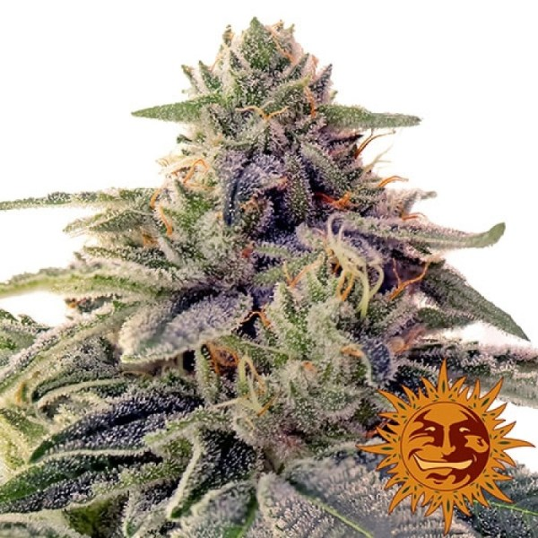 Shiskaberry feminized seeds