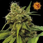 utopia haze feminized seeds