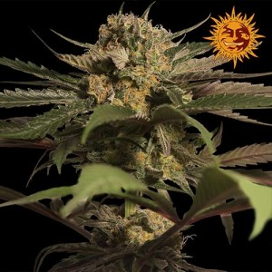 Violator kush feminized seeds