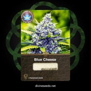 Blue Cheese Feminized1