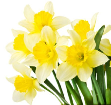 daffodils from spring